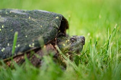 Big Turtle 2020-05-22-0011