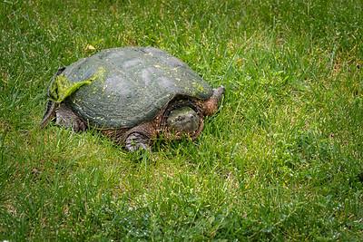 Big Turtle 2020-05-22-0001