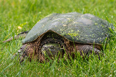 Big Turtle 2020-05-22-0005