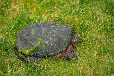 Big Turtle 2020-05-22-0009