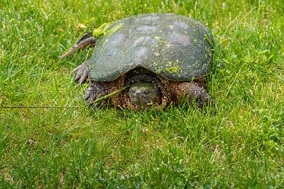 Big Turtle 2020-05-22-0004