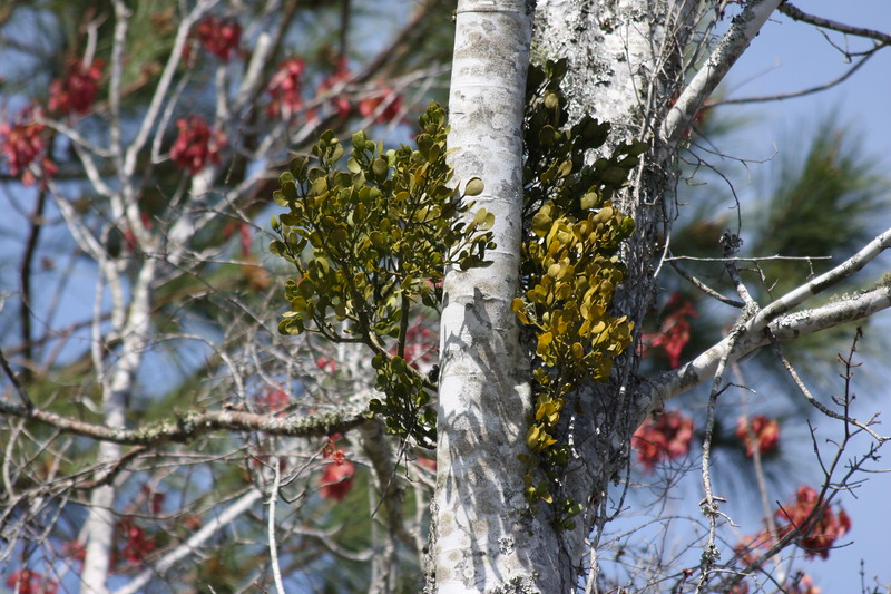 Mistletoe in Wild