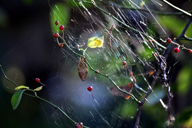 Spider Web and Rose Hips