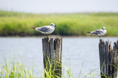 Shorebirds at Port Mahon