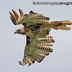 Red-tailed Hawk - taken near Robert's, ID.