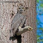 Great Horned Owl - taken near Olympia, Wa.