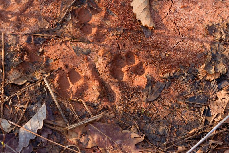 Tracks (bobcat?) in Nine Times Preserve near Sunset SC