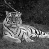 The tiger that mauled 2 kids at the SF zoo a few years ago.
