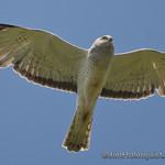 Norther Harrier - taken near Olympia, Wa.