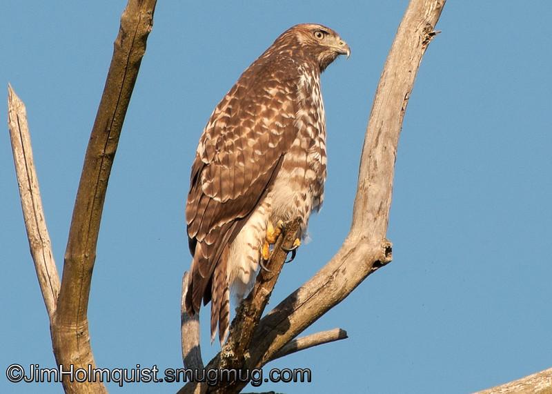 Red-tailed Hawk - Nisqually Wildlife Refuge near Olympia, Wa