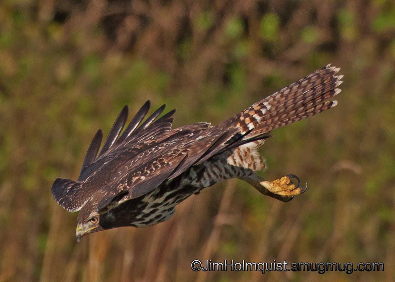 Red-tailed Hawk - Nisqually Wildlife Refuge near Olympia, Wa. Taken in 2011.