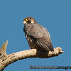 Peregrine Falcon - Nisqually Wildlife Refuge near Olympia, Wa