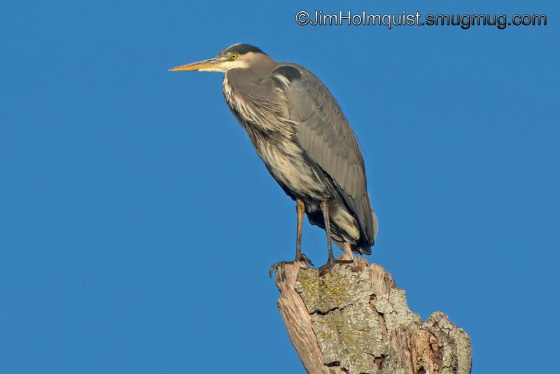 Great Blue Heron - taken near Olympia, Wa.