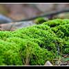 Ground Moss at Barrington Conservation Land
