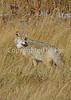 Coyote 17