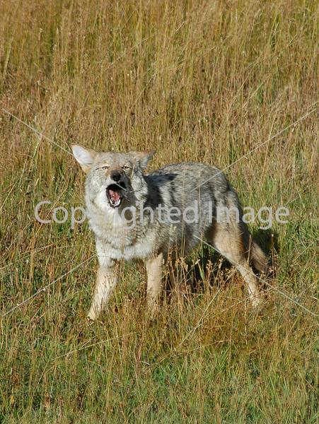 Coyote 18