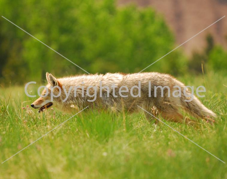 Coyote 13