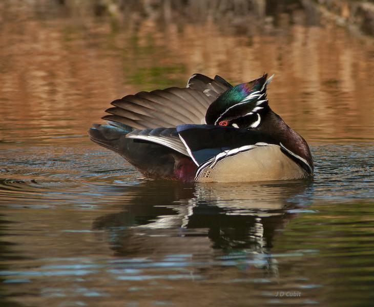 Male wood duck in breeding plumage, preening.