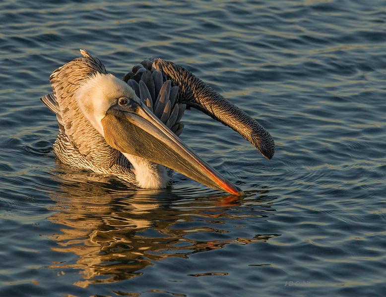 Brown pelican; Bolsa  Chica.