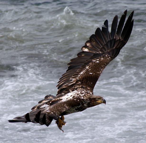 Immature Bald Eagle; Unalaska Island, Alaska.
