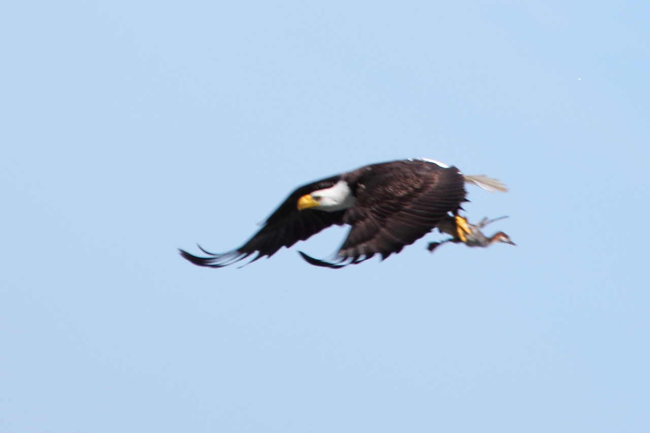 Bald eagle with common merganser duckling, Cowichan Bay