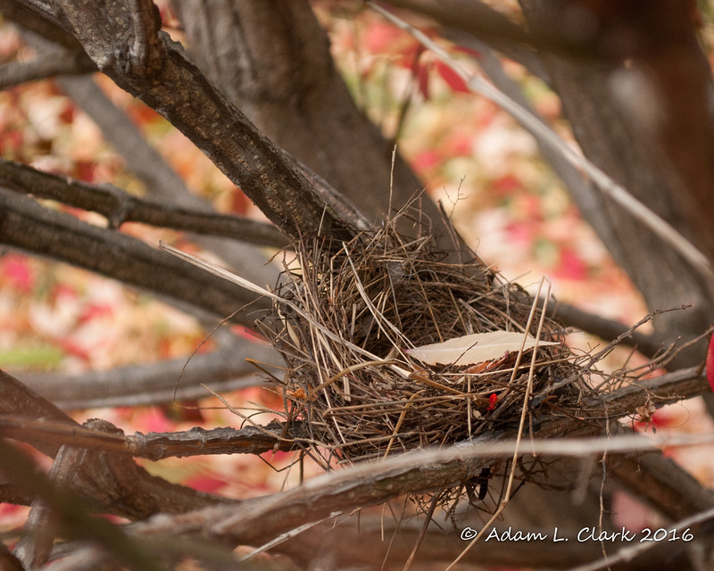 11-05-2016<br /> A bird nest from earlier this year that I found in one of our burning bushes