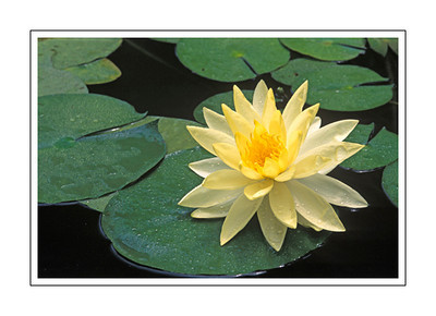 miscellaneous_waterlilly2b-2