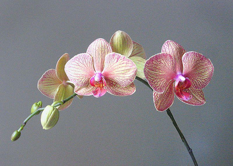 Orchid - Orchid Garden, Delray, Florida