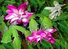 Christmas Cactus in bloom, in<br /> northern window light