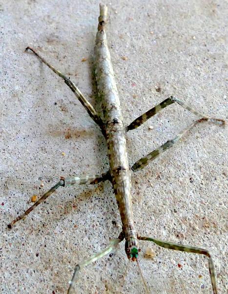 P182GiWkgSt-fullSide203 June 13, 2019 10:09 a.m. P1820203 This female Giant Walking Stick, Megaphasma denticrus, was seen in the pavilion in the family garden at LBJ WC. Diapheromerid.