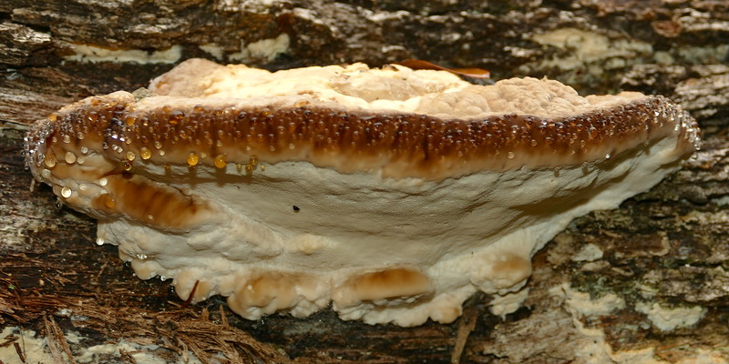 "P165BigBracketOnLog088 Mar. 16, 2017 9:37 a.m. P1650088 This large (4"" maybe) bracket fungus might be Inonotus dryadeus, the Oak Bracket. Seen on trunk of a huge fallen tree at LBJ WC"