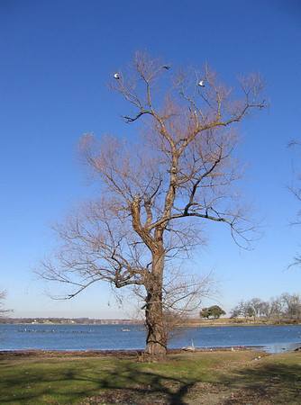 My favorite tree with some birds flying overhead (164_6473)