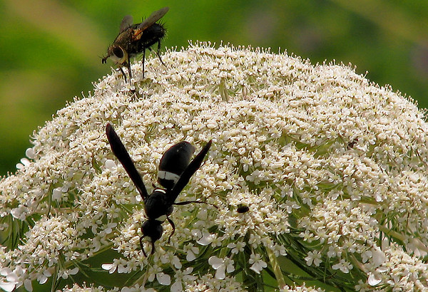 A mason wasp (Monobia quadridens) and a white-faced tachinid fly (Archytas apicifer) sharing the bloom of a wild carrot (a.k.a. bishop's lace or Queen Anne's lace; Daucus carota) (20080422_04440)