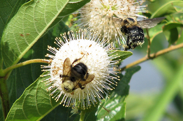 Brownbelted bumble bees (Bombus griseocollis) foraging on aromatic buttonbush (Cephalanthus occidentalis) (20080713_09651)