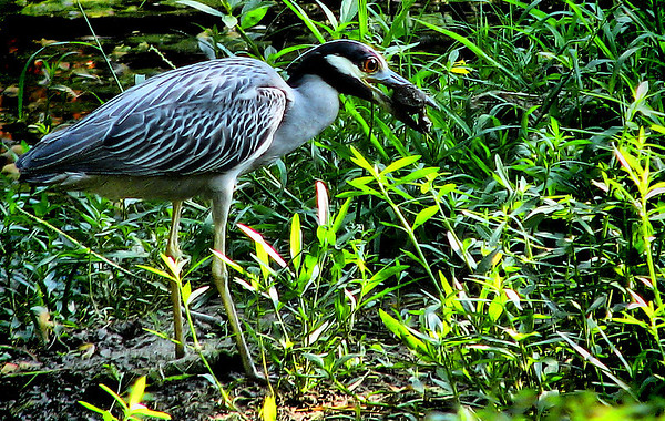 A yellow-crowned night-heron (Nyctanassa violacea) trying to eat a small turtle (20080722_09794)