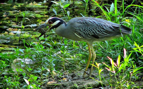 A yellow-crowned night-heron (Nyctanassa violacea) trying to eat a small turtle (20080722_09800)