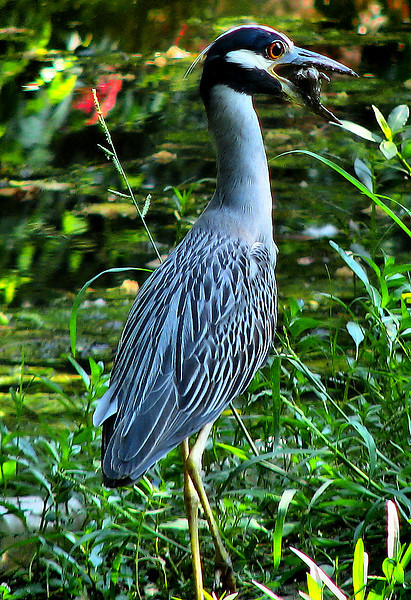 A yellow-crowned night-heron (Nyctanassa violacea) trying to eat a small turtle (20080722_09812)