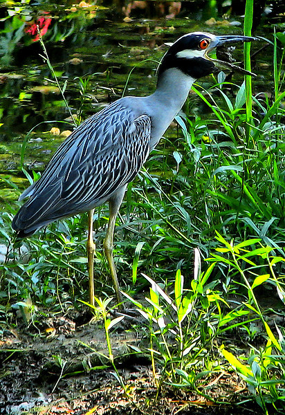 A yellow-crowned night-heron (Nyctanassa violacea) swallowing a small turtle (20080722_09813)