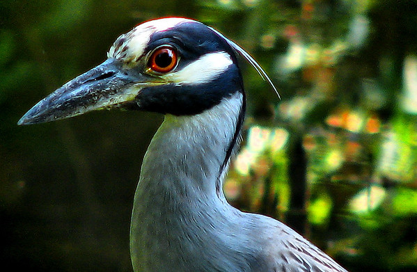 Close-up of a yellow-crowned night-heron (Nyctanassa violacea) (20080722_09852)