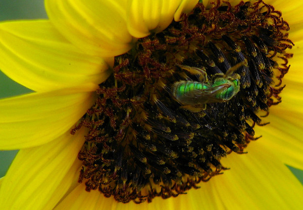 A metallic sweat bee (Augochloropsis metallica) visiting a different bloom on the same plains sunflower (a.k.a. petioled sunflower or prairie sunflower; Helianthus petiolaris) (20080727_10337)