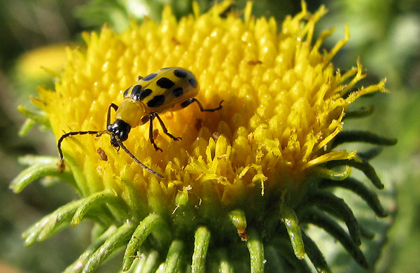 A spotted cucumber beetle (Diabrotica undecimpunctata) perched on the edge of rough gumweed (Grindelia scabra) (20080921_12634)