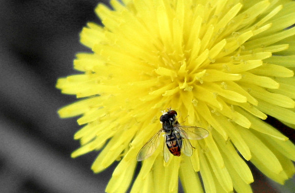 Syrphid flies (a.k.a. hover flies; Toxomerus marginatus) mating atop a common dandelion (Taraxacum officinale) (2009_03_08_012853)