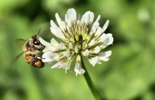 A western honey bee (a.k.a. European honey bee; Apis mellifera) on white clover (Trifolium repens) (2009_03_21_013732)