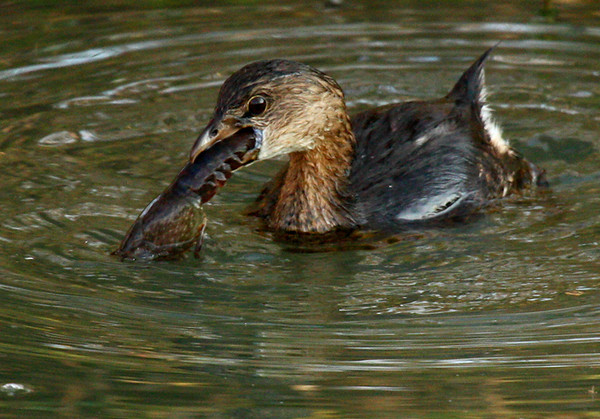 Pied-billed grebe (Podilymbus podiceps) holding a crayfish in its beak (2009_11_28_042150)