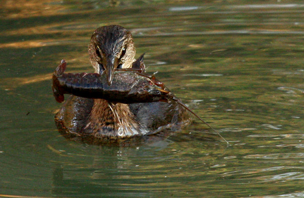 Pied-billed grebe (Podilymbus podiceps) with a crayfish in its beak (2009_11_28_042162)