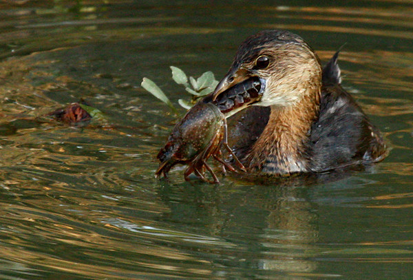 Pied-billed grebe (Podilymbus podiceps) with a crayfish in its beak (2009_11_28_042170)