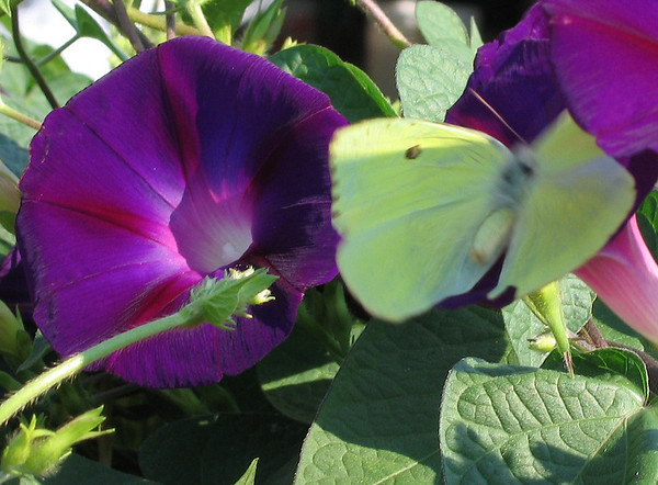 A purple morning glory (a.k.a. common morning glory; Ipomoea purpurea) with a sulphur butterfly flapping through the photo