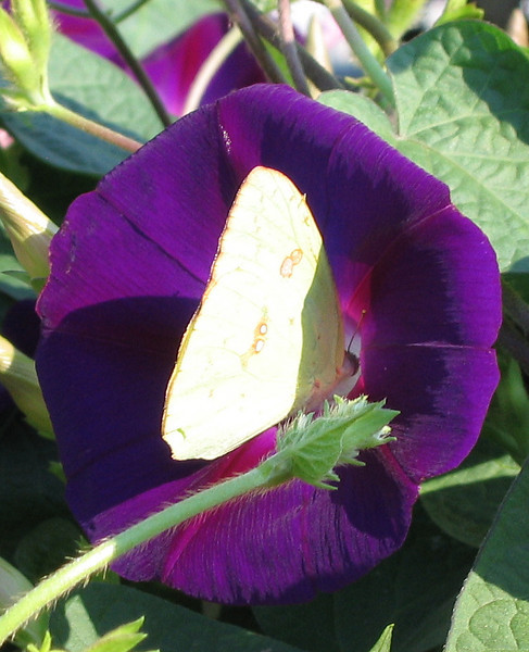 A sulphur butterfly dining within a purple morning glory (a.k.a. common morning glory; Ipomoea purpurea)