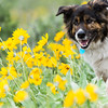 Pup running through Arrowleaf Balsamroot