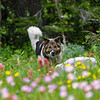 Young Pup running through wild flowers- N Tetons